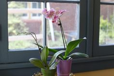 Growing orchids is much easier than most people believe. Orchids are perfectly happy to stay rootbound in the same pot for years. As long as you provide water, bright filtered light and the right temperature range, your orchid will bloom. After the orchid finishes blooming and the flower stem is completely dead, it should be carefully pruned back,...