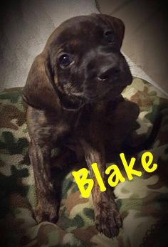 Blake is an adoptable hound searching for a forever family near Collingswood, NJ. Use Petfinder to find adoptable pets in your area.