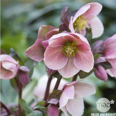 Hellebore ou Rose de Noel : C1.5L