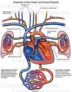 This stock medical exhibit accurately depicts the anatomy of the heart and great vessels using a coronal section through the heart and lungs. Arrows represent the flow of blood. Labels include the right and left common carotid arteries, pulmonary arteries, pulmonary veins, and lungs and the right and left atrium and ventricles, the left subclavian artery, aorta, jugular veins, thoracic aorta, inferior and superior vena cava and capillaries.