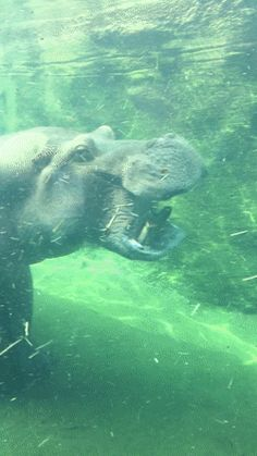 Hippos can open their mouths 150 degrees! (Visited 5 times, 5 visits today)