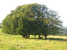 Een familie bomen