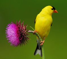 Thistle and goldfinch