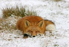 Red Fox Taking A Nap - Series by AlaskaFreezeFrame