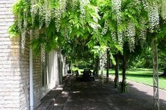White Wisteria Vine. Native to China, Japan and Eastern US.
