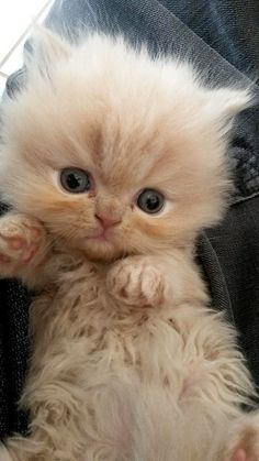 So cute and fluffy. Can I have this please?! I want to cuddle it and kiss it's little toes and head. <3