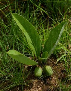 Adenia goetzei in habitat bearing fruit, the caudex ist completely underground