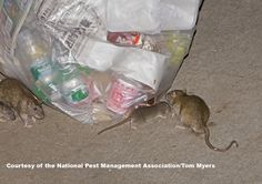 To prevent rats on your property, store all trash and recycling outdoors in sealed receptacles.