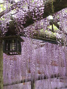 Wisteria - Japan Lavender veil - Feed your plants with GrowBest from http://www.shop.embiotechsolutions.co.uk/GrowBest-EM-Seaweed-Fertilizer-Rock-Dust-Worm-Casts-3kg-GrowBest3Kg.htm