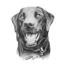 Black Labrador pencil portrait - Garry's Pencil Drawings