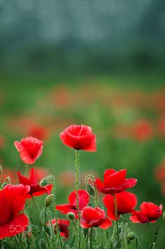 Poppy by Martin Elgen