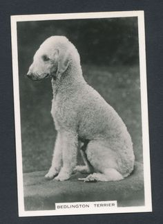 Bedlington Terrier from series Dogs by Senior Service Cigarettes card #20