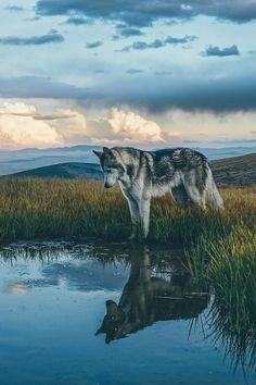 Wolf reflection at Buffalo Peaks Wilderness