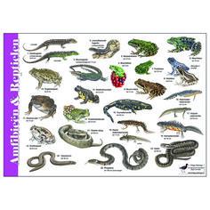 Herkenningskaart Amfibieën en Reptielen (art.nr. 971001)   JASPER DE RUITER