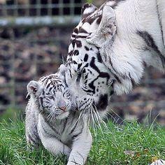El tigre blanco, una especie en peligro de extinción, principalmente por su caza ilegal.