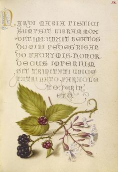 Joris Hoefnagel (illuminator)  [Flemish / Hungarian, 1542 - 1600], and Georg Bocskay (scribe)  [Hungarian, died 1575],                  		            Blackberry and Nottingham Catchfly,                      		        Flemish and Hungarian, 1561 - 1562
