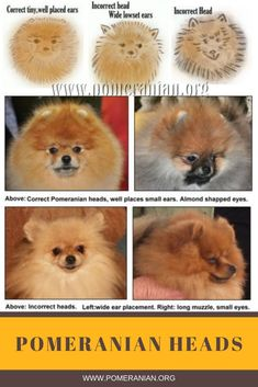 What does a Pomeranian look like? Everything About Pomeranians. Interesting facts about Pomeranians Pomeranian Haircut, Pomeranian Facts, Pomeranian Puppy, Husky Puppy, Siberian Husky Puppies, Siberian Huskies, Pom Dog, Super Cute Puppies, Baby Puppies