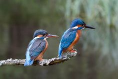 Common Kingfisher    Europe, Asia, North Africa