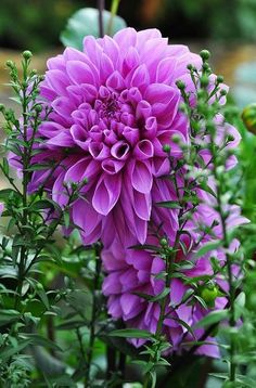 Purple Dinner Plate Dahlia *Grandmammie kept one of these growing by her kitchen doorstep