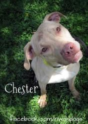Chester is an adoptable Pit Bull Terrier Dog in Toledo, OH. Lucas County Dog Warden, Toledo, OH 419-213-2800
