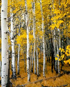 Aspen Fever by David Thompson Autumn Scenery, Autumn Trees, Birch Tree Art, Tree Artwork, Aspen Trees, Tree Forest, Mellow Yellow, Watercolor Landscape, Painting Inspiration