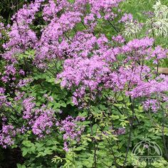 "Thalictrum aquilegiifolium'Black Stockings',40-70""H, 18-23""W, Full sun to part shade, pink to mauve flowers, mid to late summer (Alley) Needs staking"