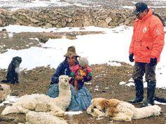Mas de 100 cuadrúpedos muertos en Puno