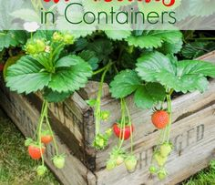 If you are ready to have fresh strawberries at your fingertips, here tips for growing strawberries in containers so you too can enjoy success. If you are ready to have fresh strawberries at your fingertips, here t Strawberries In Containers, Organic Gardening, Growing Strawberries In Containers, Growing Fruit, Plants, Strawberry Planters, Plant Care, Growing Strawberries, Container Gardening