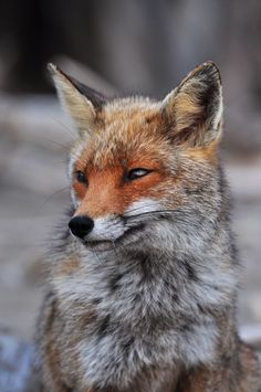 Red Fox by Martina D'Agresta - National Geographic Your Shot