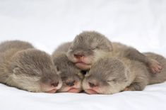baby sea otters