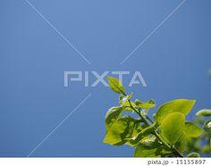柿の若い葉 (青空下)