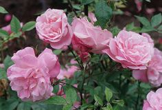 'Old Blush', also known as 'Parsons' Pink China', is generally accepted as the first East Asian rose cultivar to reach Europe (1752). 'Old Blush', together with 'Slater's Crimson China' and the tea roses 'Hume's Blush Tea-scented China' and 'Parks' Yellow Tea-scented China', were the first repeat bloomers introduced to Europe.   These Chinas and Teas became the foundation of numerous new classes , including the Bourbons, Noisettes, Hybrid Perpetuals, and thence the Modern Roses.