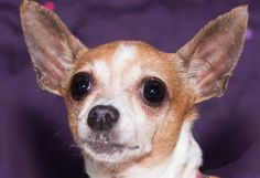 Petango.com – Meet Buttercup, a 9 years 4 months Chihuahua, Short CoatHello there, meet Buttercup - a short coat Chihuahua! This little girl is looking for a calm, patient home that will help her to continue to learn to trust people  available for adoption in COLORADO SPRINGS, CO
