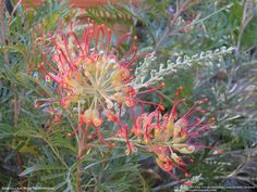 Grevilleas are in the same family as Leucadendron with more than 200 native to Australia. Grevillea 'Robyn Gordon', the small-growing shrub above, is one of many Australian grevillea cultivars and is considered by gardening expert Don Burke to be one of the best all-round varieties.Virtually all grevilleas produce delicate spidery flowers and thrive in poor dry soils with good drainage – they also love windy conditions. ground covers and shrubs to tall trees.
