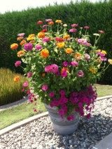 q planting two different height zinnias in same pot, container gardening, flowers, gardening