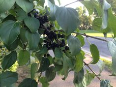 Berries for the birds, end of August, Faribault MN.
