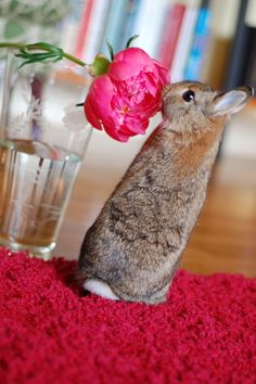 On this valentine's day , I will give this red rose to my sweet little partner. Don't try to cut this flower. Cute Baby Bunnies, Cute Baby Animals, Animals And Pets, Funny Animals, Cute Babies, Bunny Bunny, Bunny Rabbits, Benny And Joon, Daily Bunny