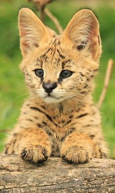 """Serval Cub!    Not sure whether to but put this in """"Big cats"""" or """"Animals"""". Because you can have serval cats for pets, but their a lot bigger than regular house cats."""