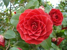 camellia images | camélia, há diferenças dependendo da cor das flores. As camélias ...