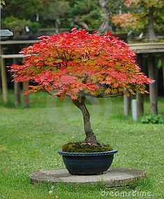 15 Seeds Full Moon Maple Tree use for Bonsai or Yard Tree Landscape Trees, Garden Trees, Plants, Japanese Tree, Japanese Garden Design, Maple Tree Landscape, Japanese Garden, Japanese Maple Tree, Garden Plants