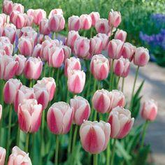 Darwin Hybrid Tulip Ollioules | K. Van Bourgondiens