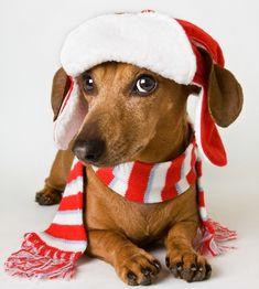 Doxie christmas cute puppies, cute dogs, i love dogs, dogs and puppies, chr Christmas Animals, Christmas Dog, Christmas Dachshund, Merry Christmas, Cute Puppies, Cute Dogs, Baby Animals, Cute Animals, Sweet Dogs