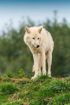 Arctic Wolf - South Lakes Safari Zoo by patrick-walker**