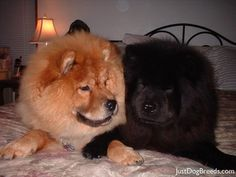 Awww!  Looks like my first Chow (Theadore Bear) and my second one (Ming) at the same time.  Except Ming is a blue instead of black, but it's very close and so sweet!