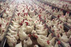 Kvůli pseudomoru musí nahlásit stavy drůbeže chovatelé ze třiceti katastrů - Zprávy Krize15