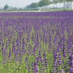 Lavendel (Lavandula angustifolia 'Hidcote')-directplant