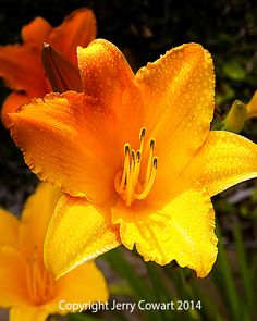 Bright Yellow Blossom Daylily With Rain Drops fine art photography prints for the home decor or the office. http://fineartamerica.com/featured/bright-yellow-daylily-flower-jerry-cowart.html?newartwork=true