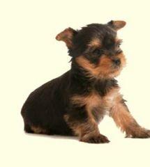 Shichon / Teddy Bear Puppies For Sale In DE MD NY NJ
