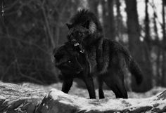 Their enchanting personality is quite visible in wolf pictures. Nevertheless, wolf pictures can not capture the awesome personality of wolves. Beautiful Wolves, Animals Beautiful, Cute Animals, Wild Animals, Baby Animals, Wolf Photos, Wolf Pictures, Wolf Spirit, My Spirit Animal