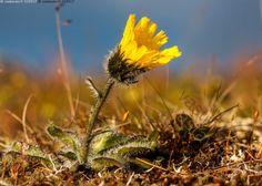 Tunturikeltano - tunturikeltano Hieracium Alpina tunturikeltanot kukka karvainen…